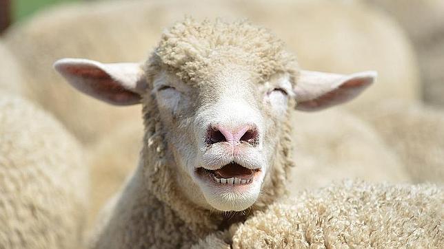 Insólito proyecto para que las ovejas cuenten con señal WiFi