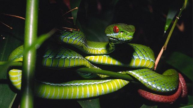 22665738  644x362 Una rana que canta y una víbora de ojos rubí, entre las nuevas especies descubiertas en el Gran Mekong