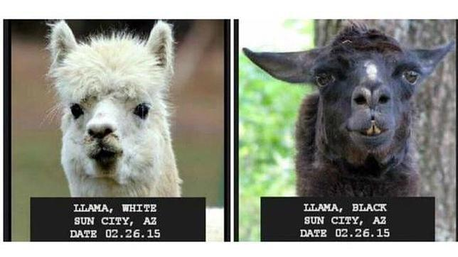 Dos llamas, en busca y captura en Arizona