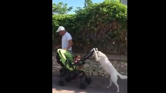 El increíble vídeo del «perro-niñera» que pasea el cochecito de un bebé