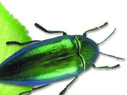 El escarabajo joya recibe este nombre por sus brillantes colores iridiscentes
